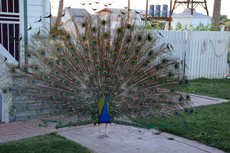Image of a peacock at Sahuaro Ranch Historic Area near Glendale, Arizona