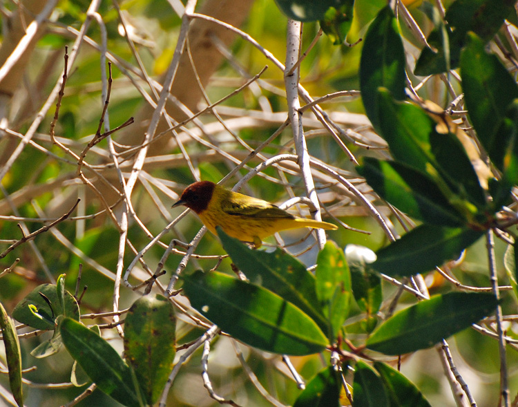 An image of a yellow mangrove warbler in San Blas Nayarit