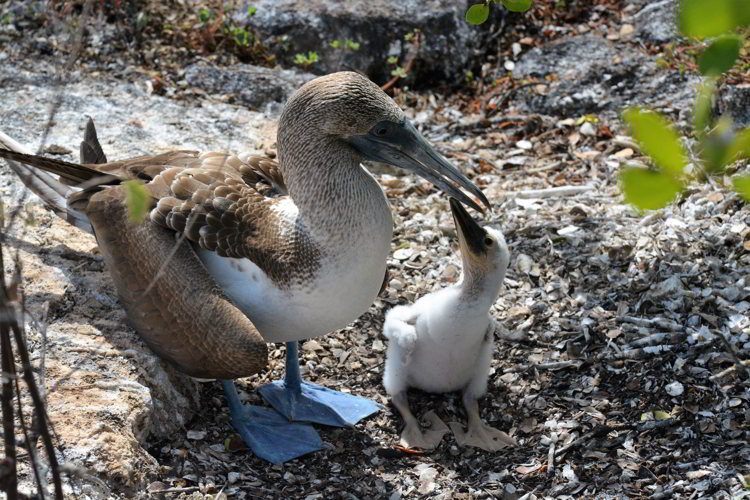 An image of a blue-footed booby female and hatchling on Los Tuneles in the Galapagos Islands.