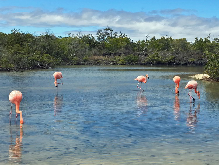 An image of pink flamingos on Isabella Island in the Gallapagos Islands of Ecuador.