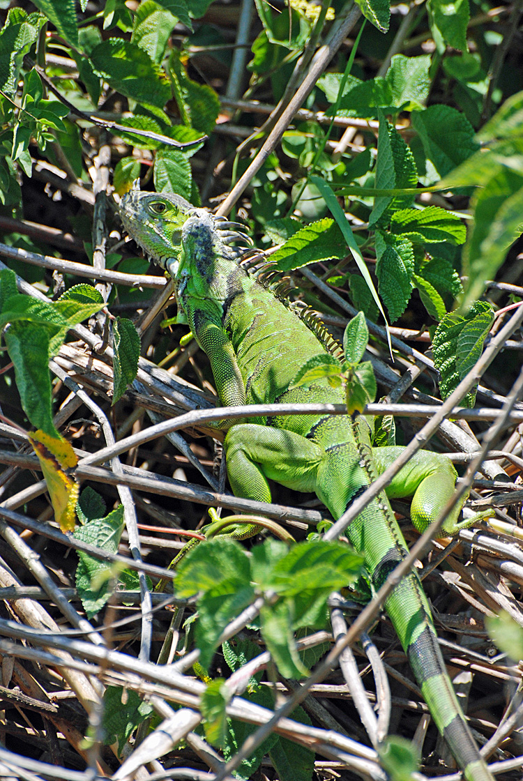 An image of a green iguana