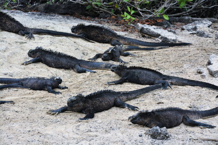 An image of a colony of marine iguanas in the Galapagos Islands