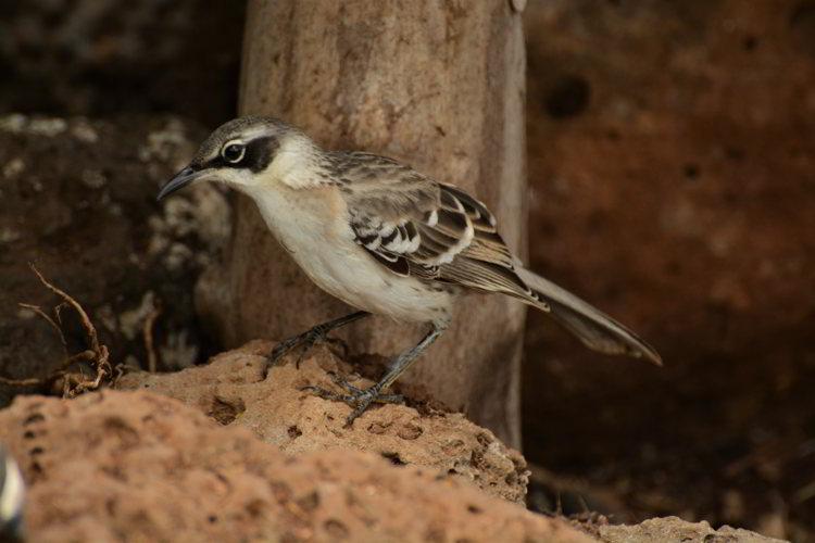 An image of a Galapagos mockingbird