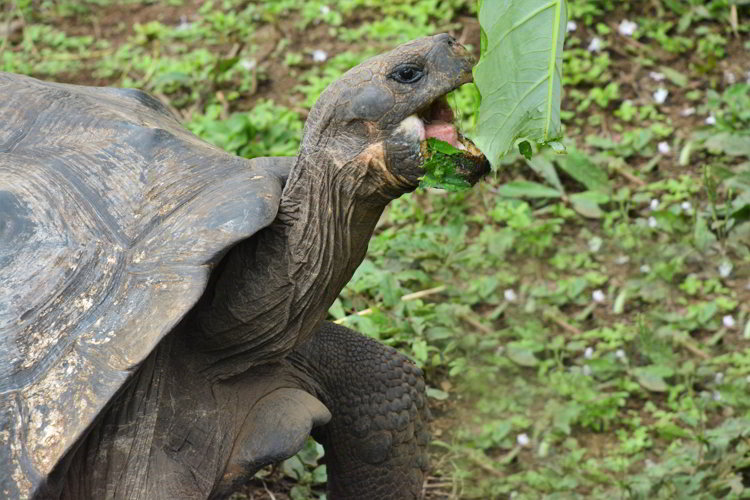 An image of a Galapagos giant tortoise eating a leaf in the Galapagos Islands