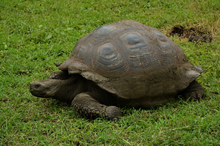 An image of a Galapagos giant tortoise in the Galapagos Islands