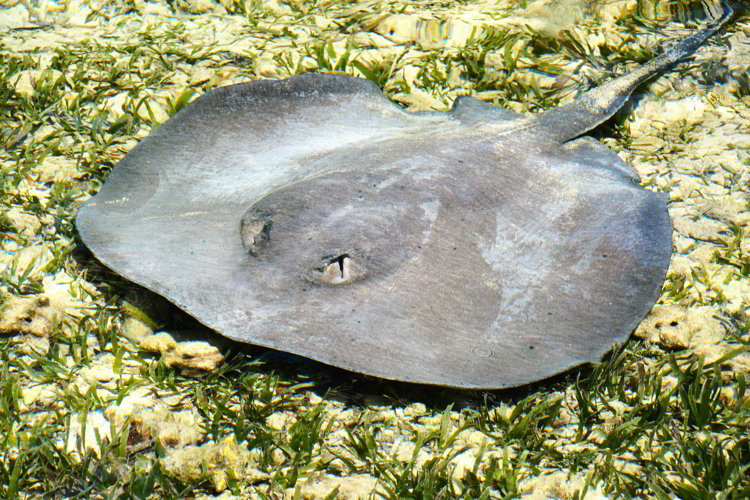 An image of a stingray seen snorkeling in Belize in South Water Caye Marine Reserve in Belize