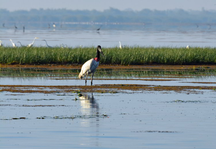 An image of a jabiru stork at Crooked Tree Wildlife Sanctuary in Belize