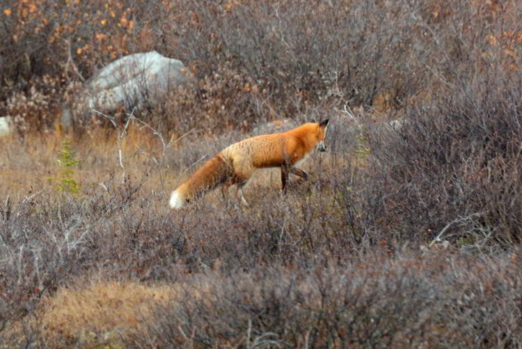 An image of a red fox walking through some brush near Churchill, Manitoba