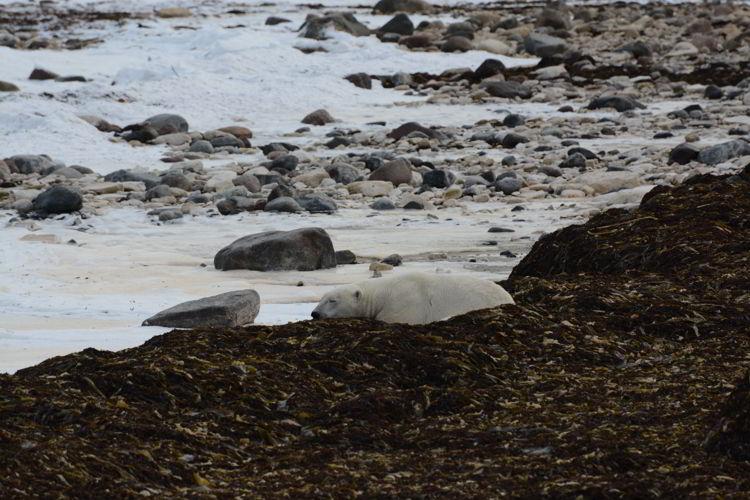 An image of a polar bear sleeping near the shores of the Hudson Bay near Churchill, Manitoba