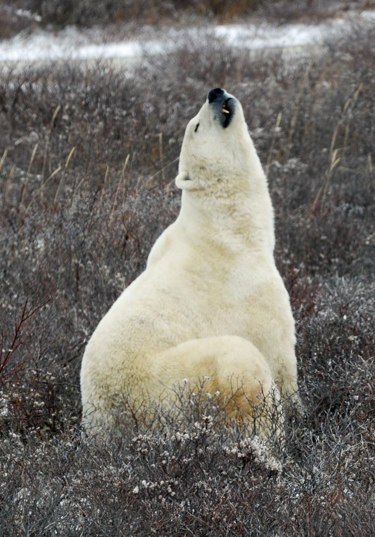 An image of a polar bear looking up towards the sky near Churchill, Manitoba