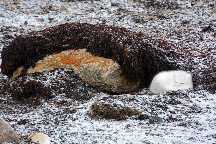 An image of a small white Arctic Fox near Churchill, Manitoba