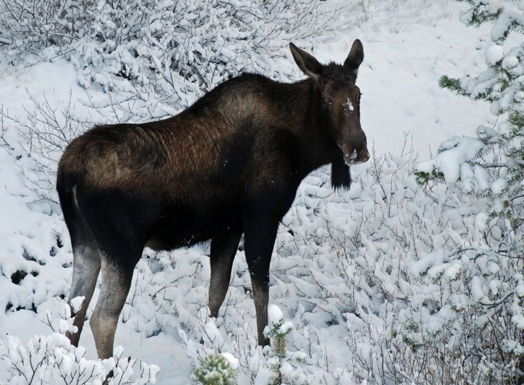 An image of a moose in the snow in Jasper National Park in Alberta, Canada - Jasper in winter - stunning photos