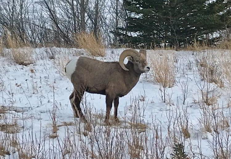 An image of a bighorn sheep at Abraham Lake Alberta