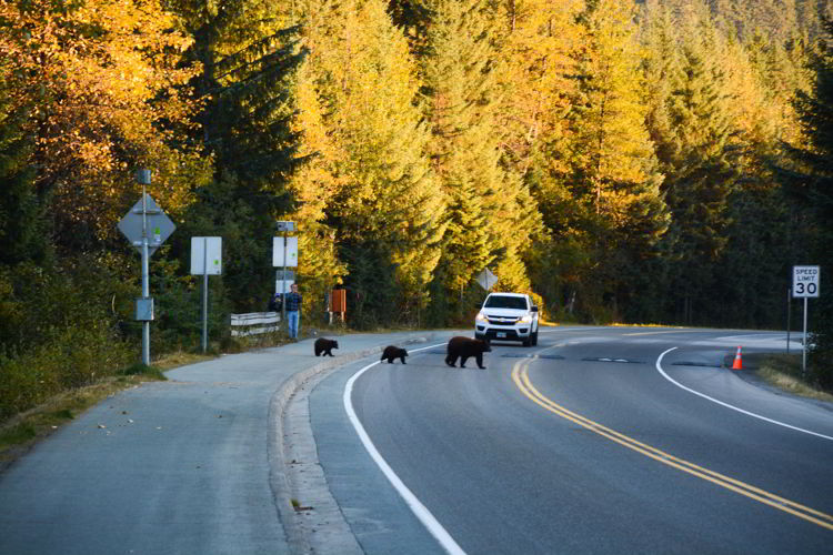 An image of a mother bear crossing the road with her two cubs near the Mendenhall Glacier in Juneau, Alaska - taking the bus to Mendenhall Glacier
