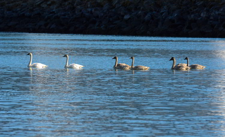An image of swans swimming in Resurrection Bay near Seward, Alaska