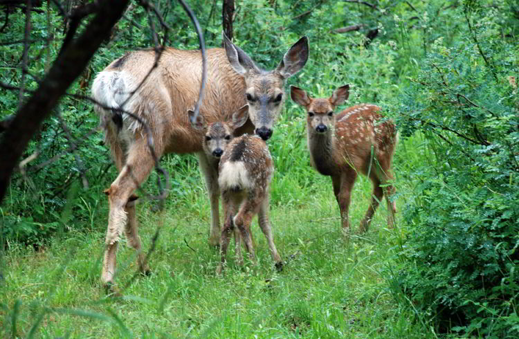 An image of a mother deer with twin babies in Waterton Lakes National Park in Alberta, Canada.
