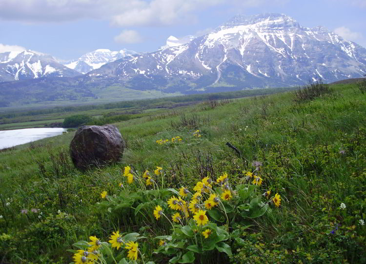 An image of yellow wildflowers with mountains behind them in Waterton Lakes National Park in Alberta, Canada.