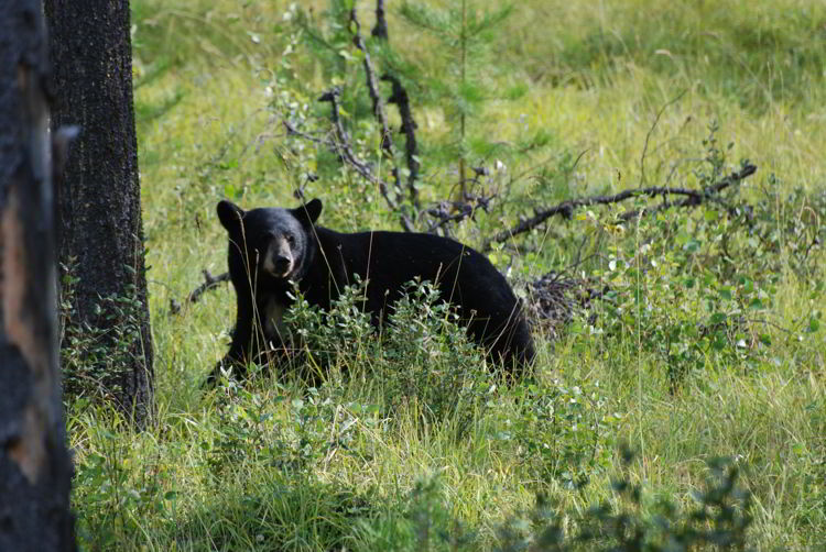 An image of a black bear in Jasper National Park, Alberta Canada.