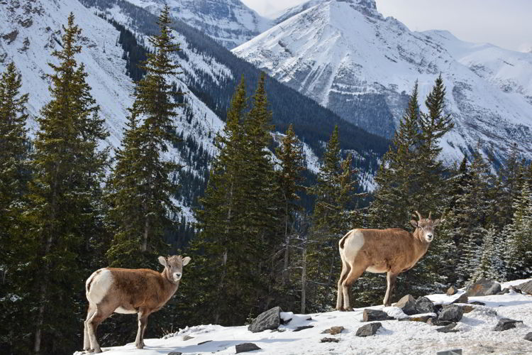 An image of a female and juvenile bighorn sheep seen along the Icefields Parkway in Jasper National Park, Alberta, Canada.