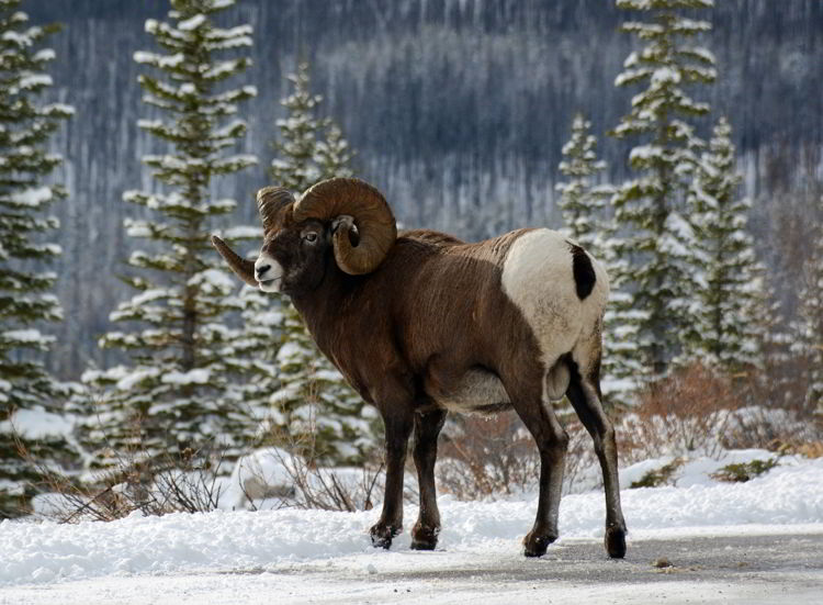 An image of a bighorn sheep ram on the Maligne Lake Road in Jasper National Park, Alberta, Canada - Jasper Wildlife Watching.