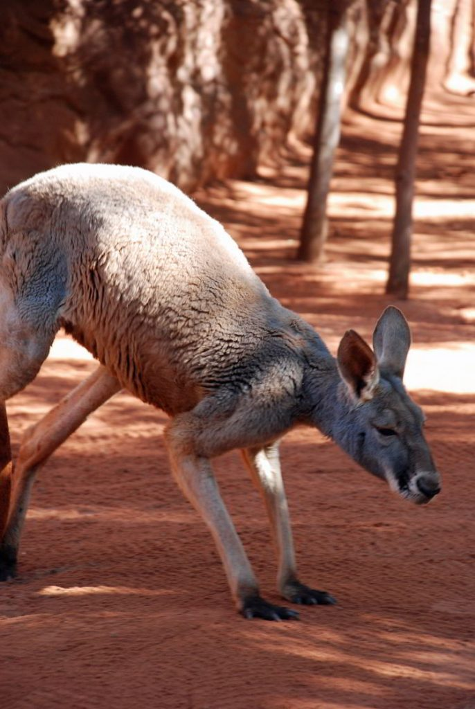 An image of a big grey Kangaroo in Queenland, Australia.