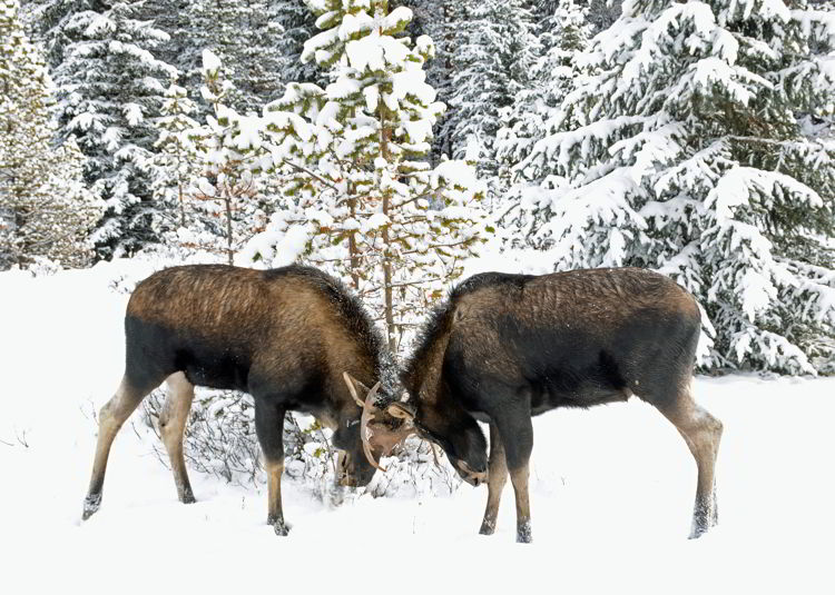 An image of two bull moose fighting in Jasper National Park, Alberta, Canada - Jasper Wildlife viewing.