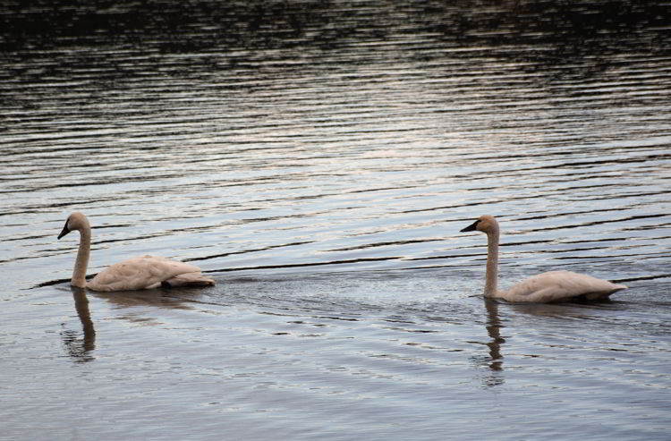 An image of two swans on Lake Beauvert in Jasper National Park., Alberta, Canada - Jasper Wildlife Watching.