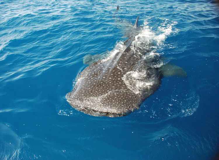 An image of a whale shark in the waters off Isla Mujeres, Mexico.