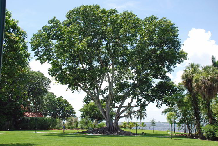 An image of a tree on the Ford Edison Winter Estates in Fort Myers, Florida.