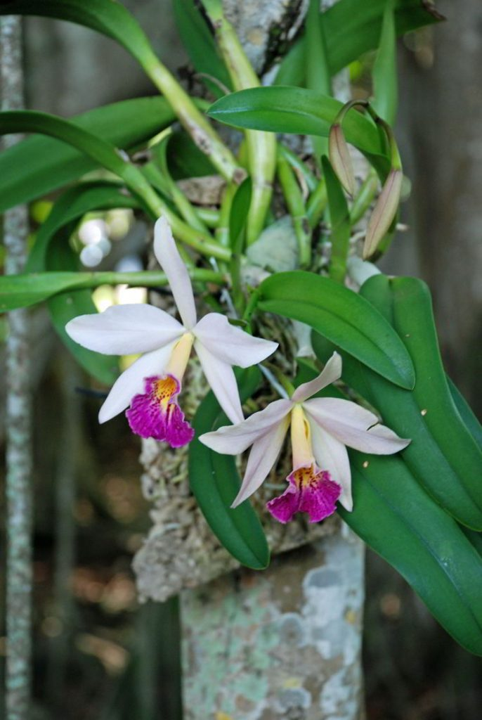 An image of an orchid in the botanical gardens at the Ford Edison Winter Estates in Fort Myers, Florida.