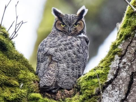 An image of a great horned owl - virtual tours