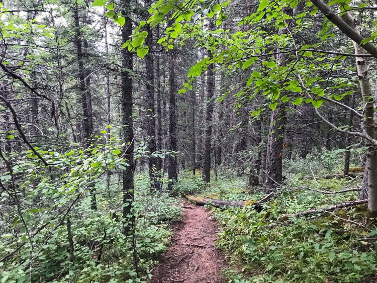 An image of the trail through the forest on the last part of the Heart Mountain Horseshoe hike near Canmore, Alberta.