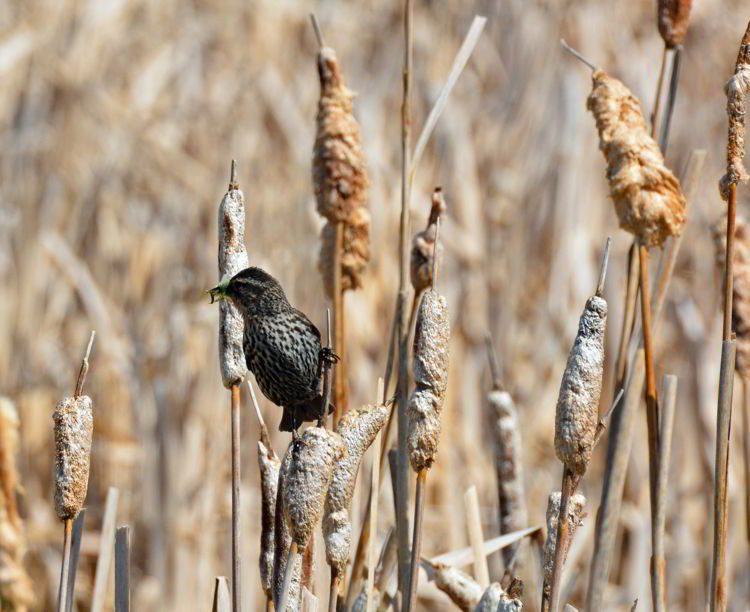 An image of a female red-winged blackbird at Lois Hole Centennial Provincial Park in Alberta, Canada.