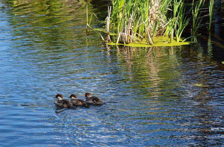 An image of three ducklings at Lois Hole Centennial Provincial Park in Alberta, Canada - Birds in Alberta.