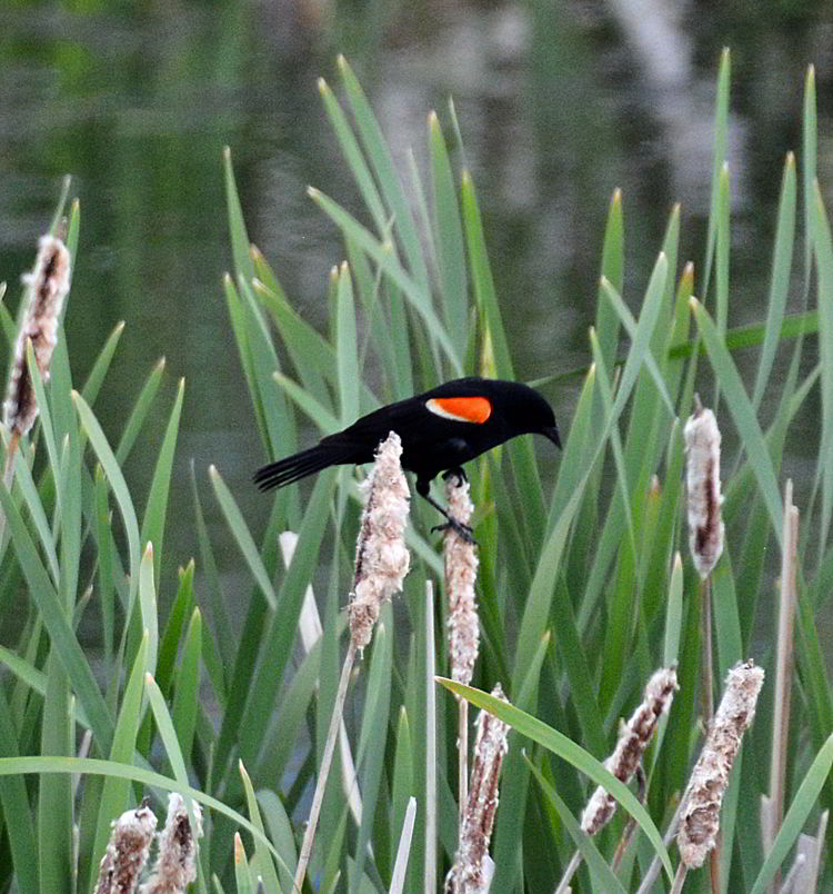 An image of a red-winged blackbird in the marsh by Lake Newell near Brooks, Alberta, Canada.