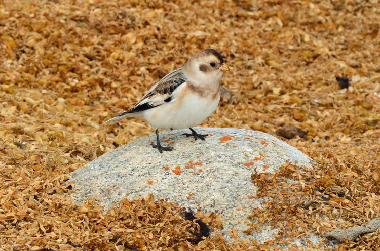 An image of a snow bunting bird seen in Churchill, Manitoba, Canada.