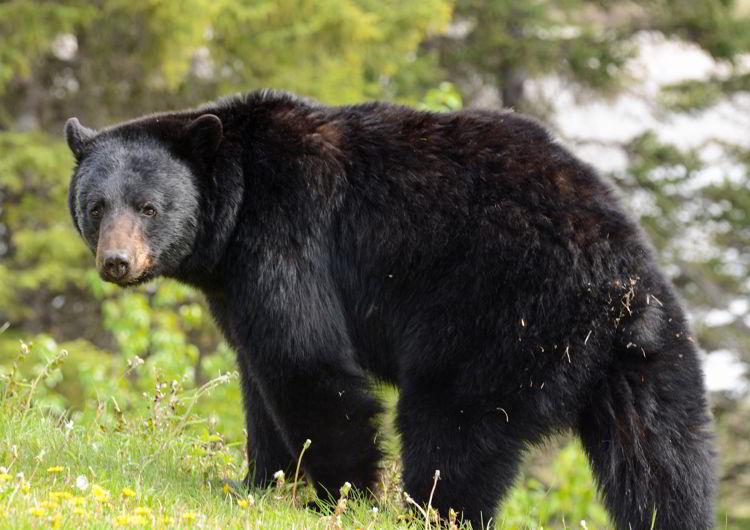 An image of a black bear.