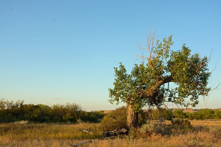 An image of an old gnarly cottonwood tree at Police Point Park in Medicine Hat, Alberta, Canada.