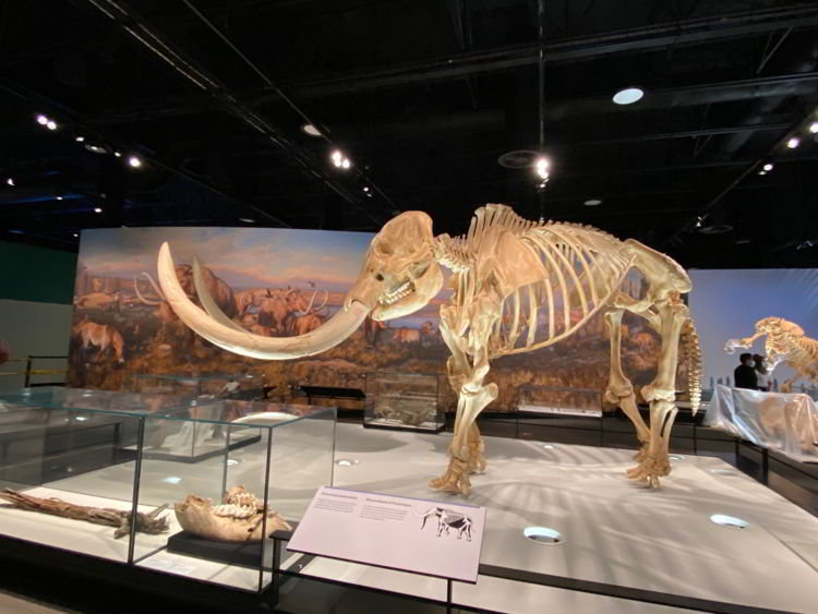 An image of a mammoth skeleton at the Royal Alberta Museum- Edmonton museums.
